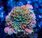 Jason Fox Pink passion Porites.jpg