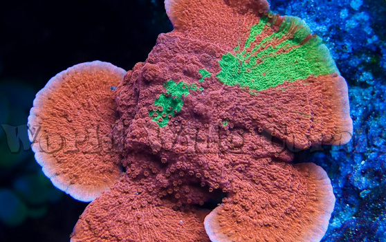 55 Grafted-Montipora-large.jpg