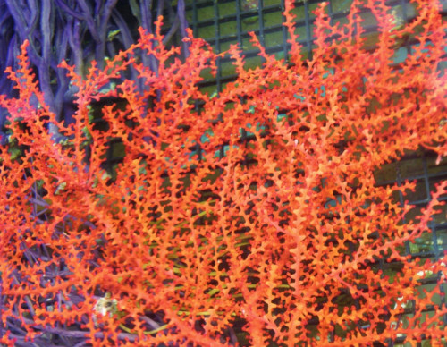 Orange tree gorgonian Swiftia exserta.jpg